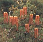 spinulosa.jpg